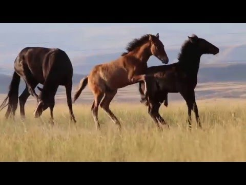 Bighorn Canyon Wild Horses 2014- Foals playing